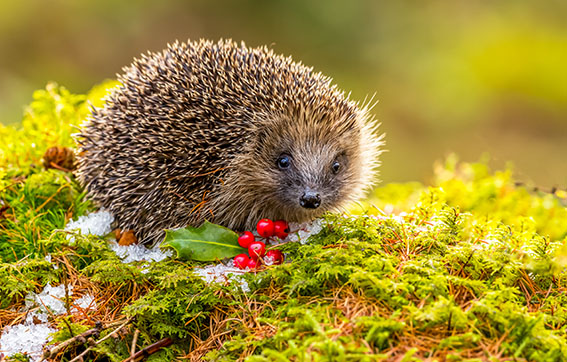 Hedgehog, (Scientific name: Erinaceus europaeus) Native, wild hedgehog in Winter with green moss, red berries and ice.  Facing forward.  Horizontal, landscape.  Space for copy.