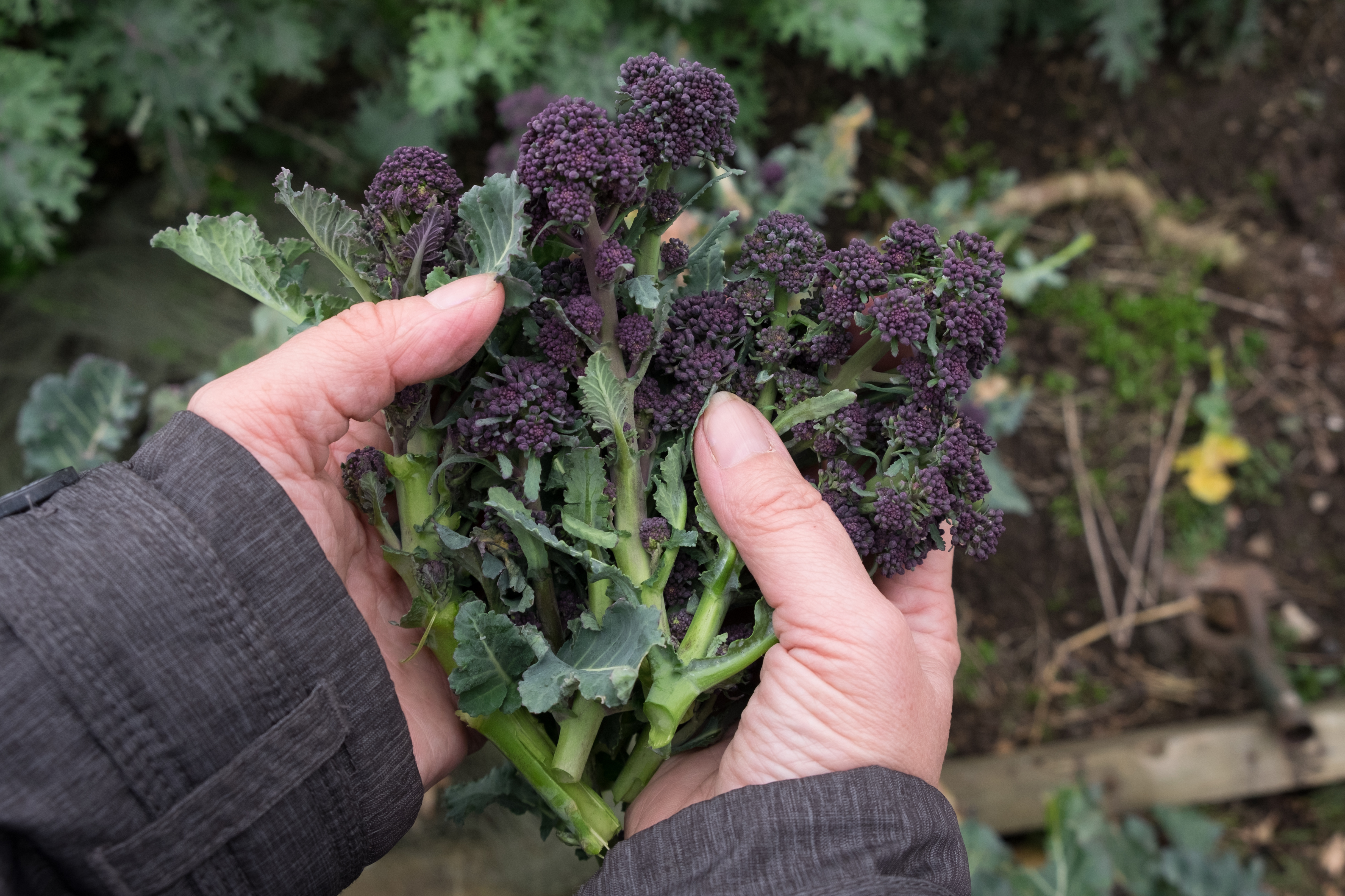 Hands holding fresh picked purple sprouting broccoli