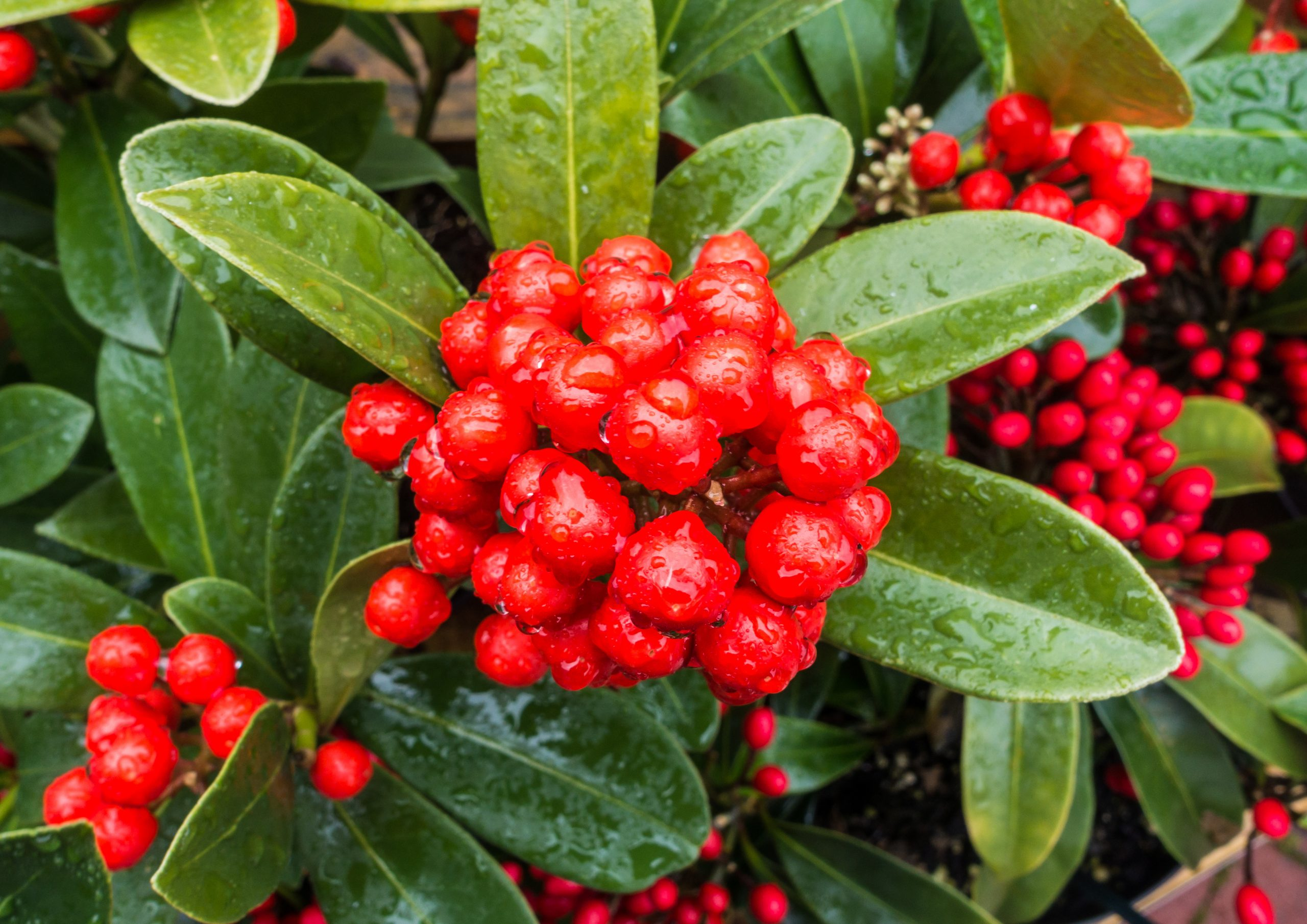 A macro shot of some wet skimmia bush berries.