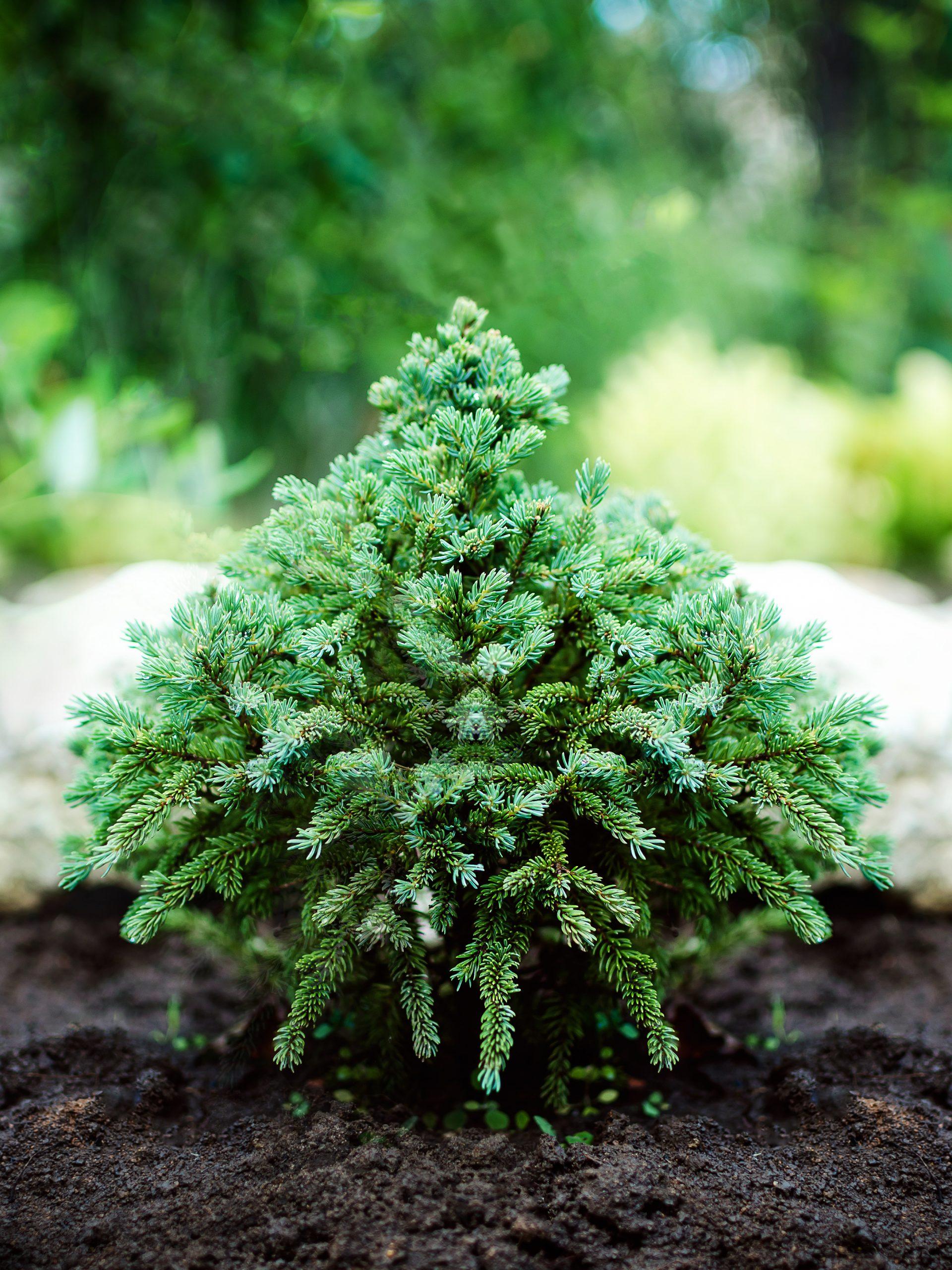 decorative dwarf pine grows in the garden.